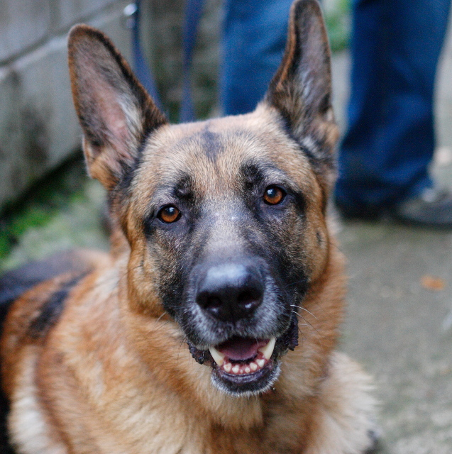 Caesar 6 year old; black and tan male homed P1090