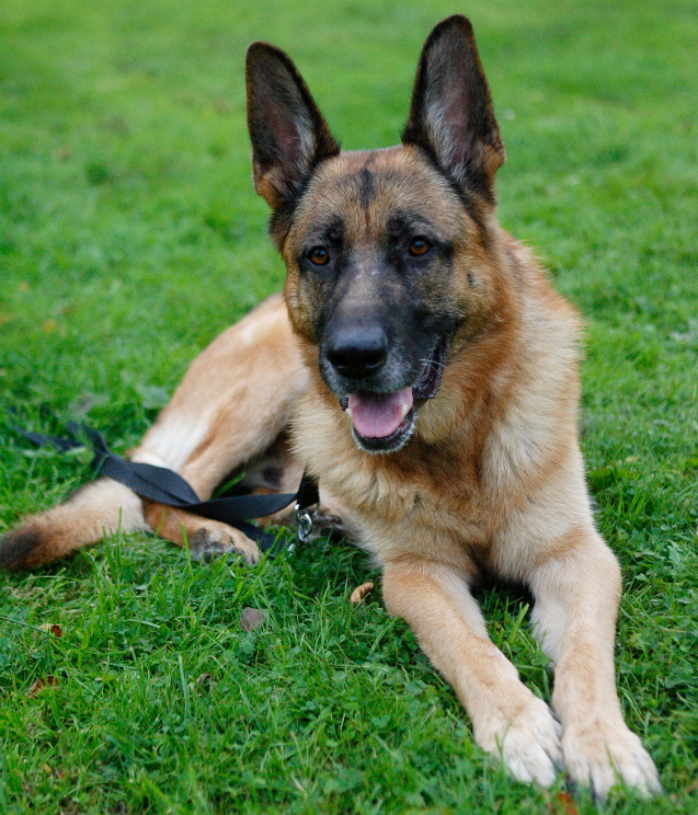 Caesar 6 year old; black and tan male homed P1092